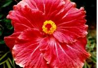 Hibiscus used in beuty preparations